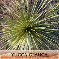 Yucca glauca
