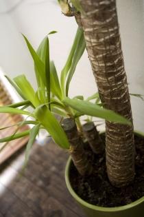 Gepflegte Yucca Palme in Wohnung