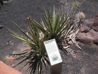 Yucca baccata an einem für sie gut geeigneten Standort